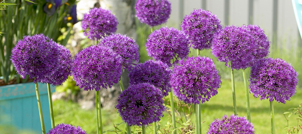 Header - Alliums