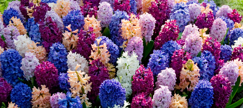Header - Hyacinthen