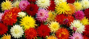 Dahlias mix bulbes de printemps