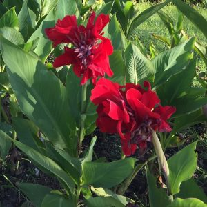 Canna rouge bulbes de printemps