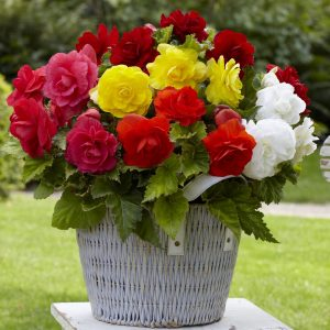 Begonias double bulbes de printemps