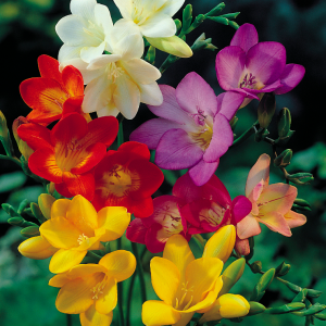 Freesias bulbes de printemps