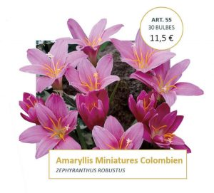 Amaryllis de printemps -miniature colombien