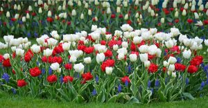 tulipes et muscaris