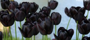 Tulipes noires Queen of Night